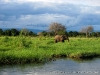 Rio Zambeze, Elefante, Zambia
