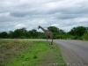 Girafa, Livingstone, Zambia