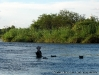 Hipopótamos, Rio Okavango, Namibia